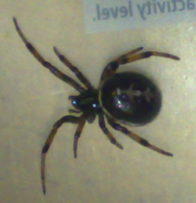 Suspected Black Widow found in grapes from Tescos